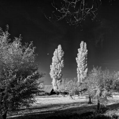 Twe poplars